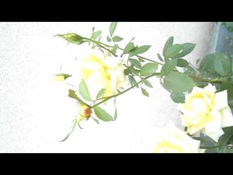 Чайна гибридная желтая роза  - Hybrid Tea Rose Yellow