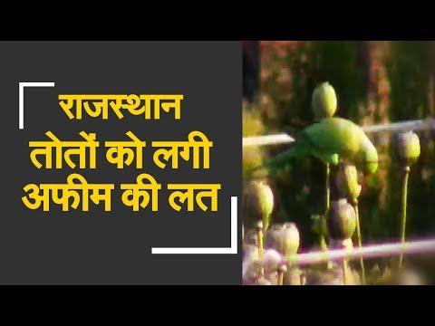 Parrots high on opium are annoying farmers in Rajasthan | राजस्थान में तोतों को लगी नशे की लत