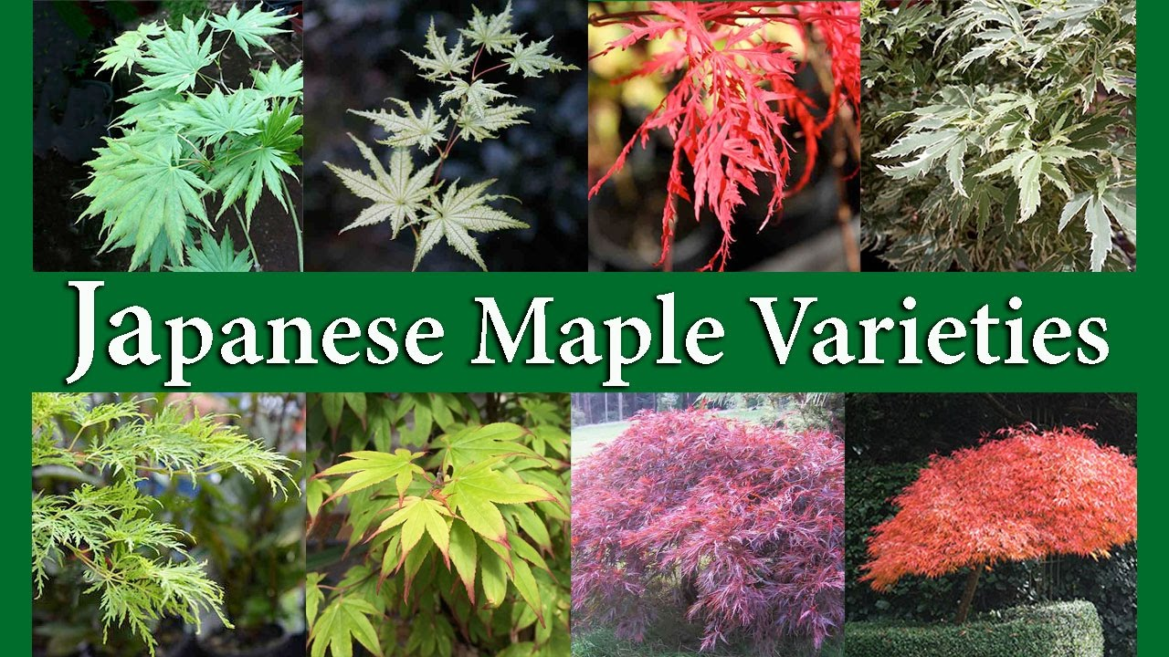 Japanese Maple Varieties Youtube