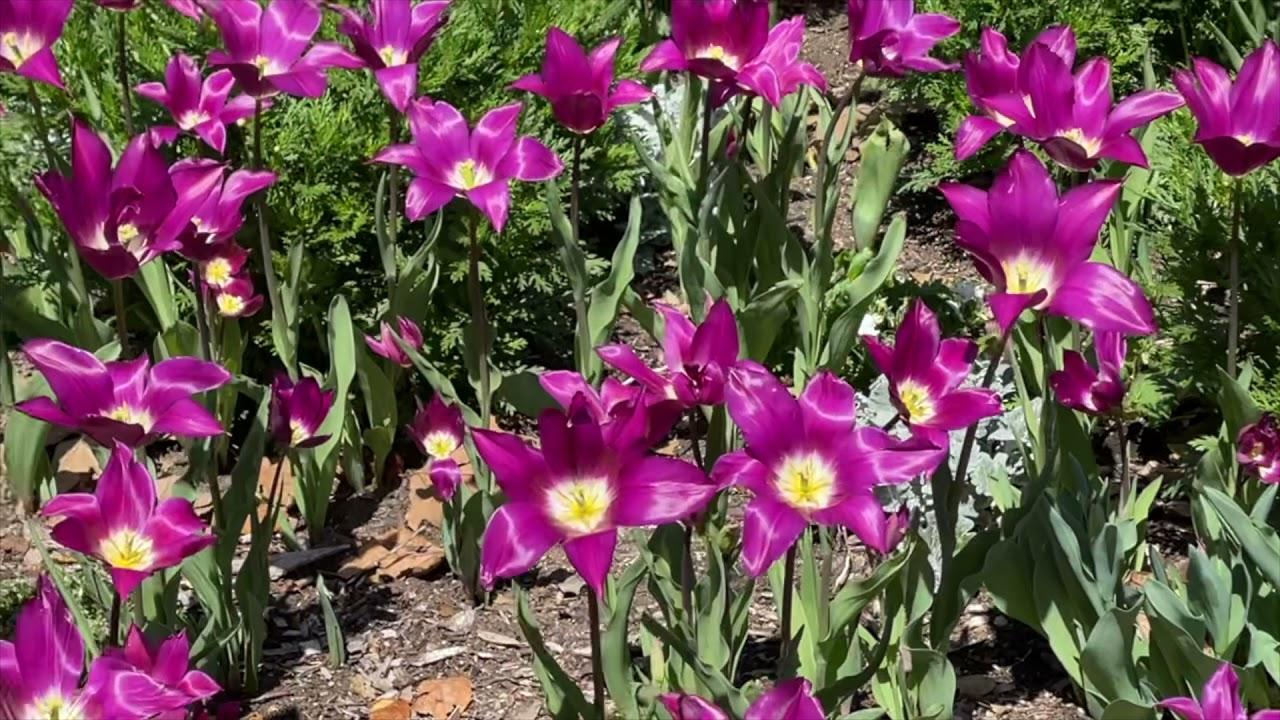 Tulip Fever!