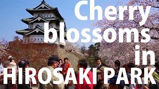 Cherry blossoms in Tohoku: Hirosaki Park