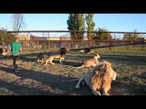 Большая четверка грозных львов и настоящий полковник ! Лев Дейл дал себя погладить !!!