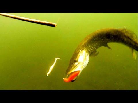 Fishing: pike attack Westin SHADTEEZ lure softbait underwater. Рыбалка щука атака.