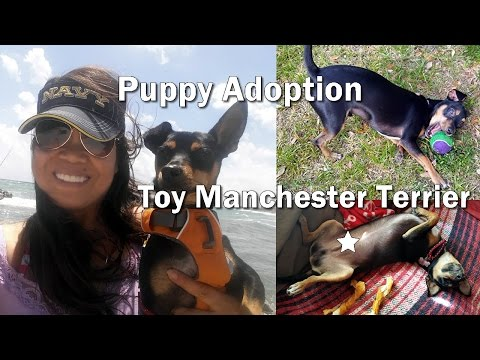 Athletic Toy Manchester Terrier Adoption - New Cast of Character