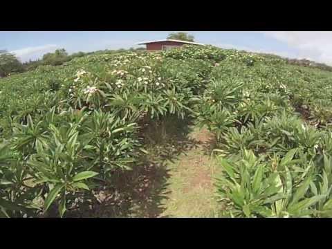 Molokai Plumeria Farm #seeMolokai