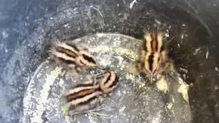Repeat youtube video ฮือฮา !! ลูกนกแปลกขนสีน้ำตาล ดำ ช่วงขายาว ปากยาว