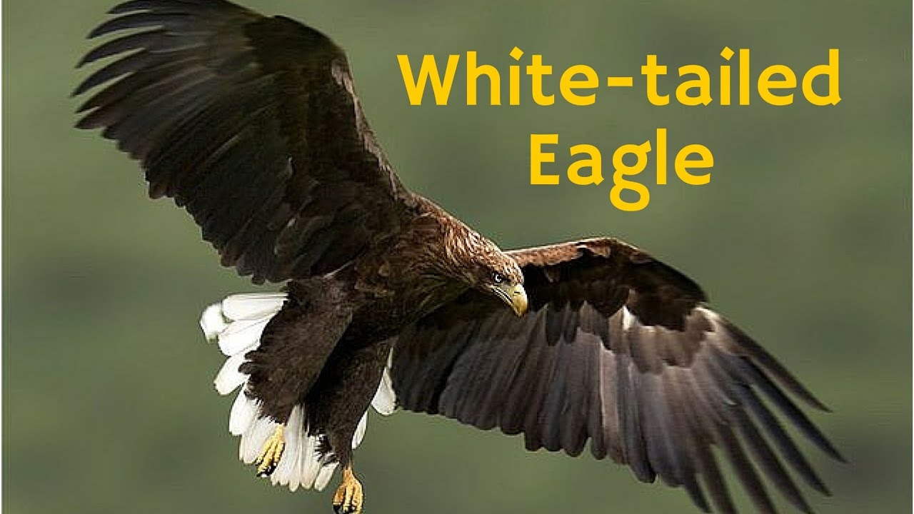white tailed eagle raptor bird of prey also known as the sea