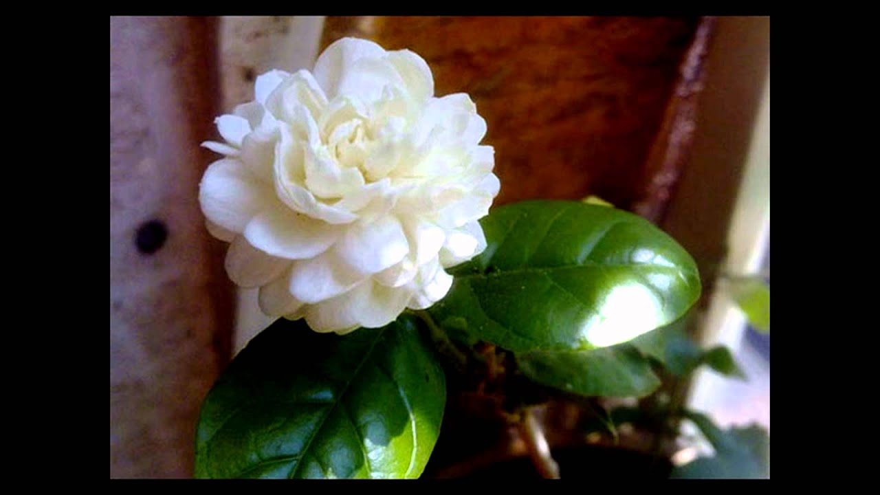 Jasmine Flowers Cute Youtube
