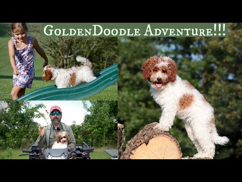 Goldendoodle - Puppy Sized Adventure!