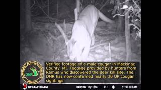 Michigan DNR: Verified Footage Of a Male Cougar in Mackinac County