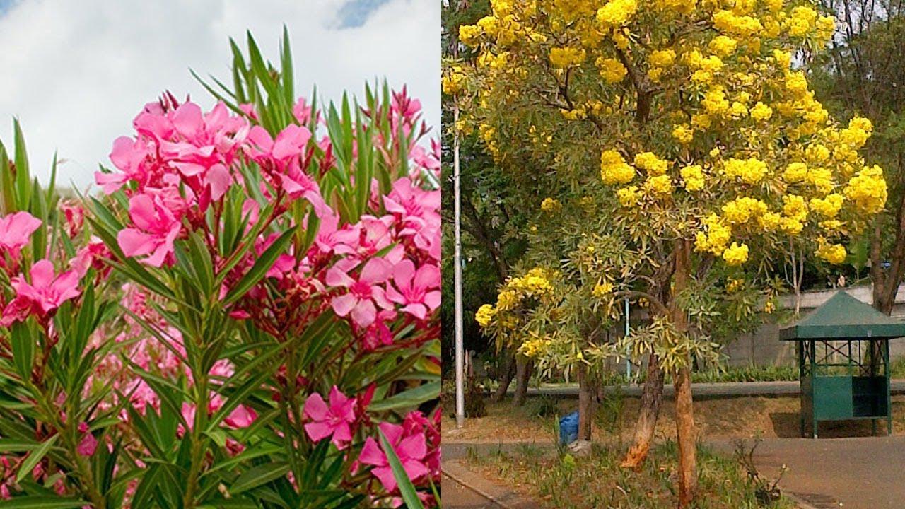 Bunga Jepun Oleander Tanaman Hias Populer Di Indonesia Yang