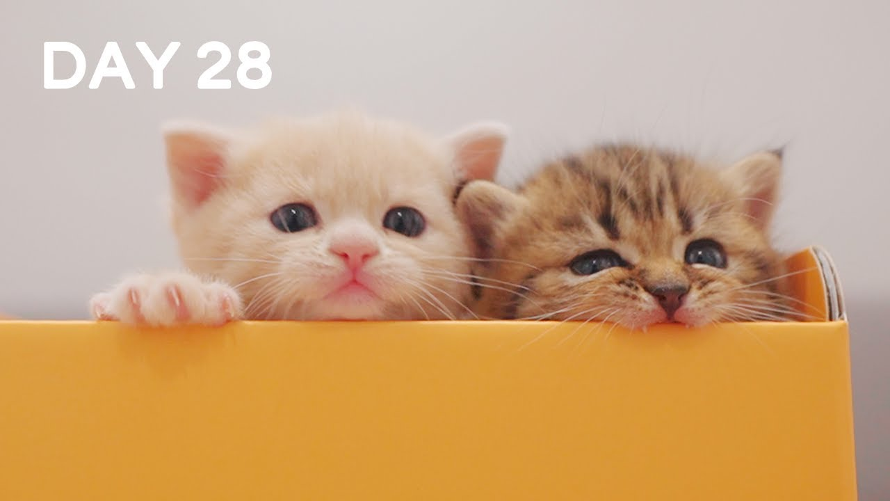Full Box Of Baby Kittens - Day 28 @ Baby Kittens Day 1 to Day 100 Lucky Paws Vlogs