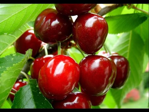 Чтобы вишня давала хороший урожай