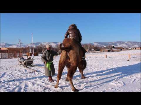 Вопрос: Есть ли в Бурятии верблюды?