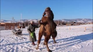Бурятия, этно комплекс Степной кочевник, обучаем верблюдов