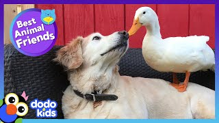85 Minutes Of Animals Who Are Absolutely Obsessed With Each Other | Animal Videos | Dodo Kids