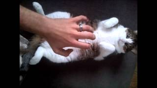 Angry Cat Belly Rub