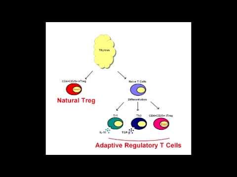 regulatory t cells aka suppressor t cells youtube