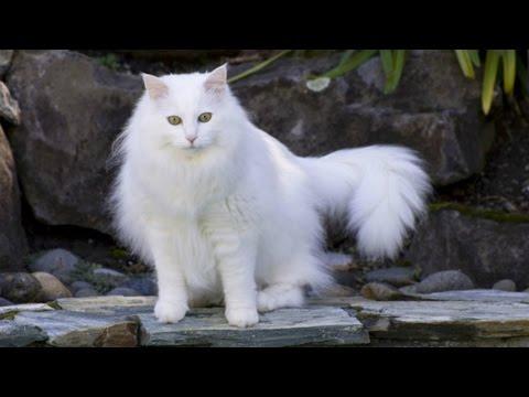 Турецкая Ангора, Уход и содержание, Породы кошек.