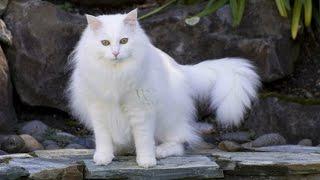 Турецкая Ангора, Уход и содержание, Породы кошек