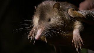 Inilah Hewan Unik Tikus Berbisa Zaman Purba