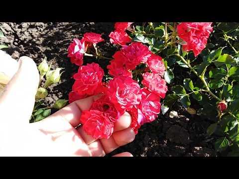 Почвопокровная роза Адалетта (Adaletta) rozapochtoi.ru