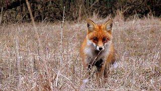 Лиса в урочище Корыта, Ставрополь, Россия (Fox in tract Koryta, Stavropol, Russia)