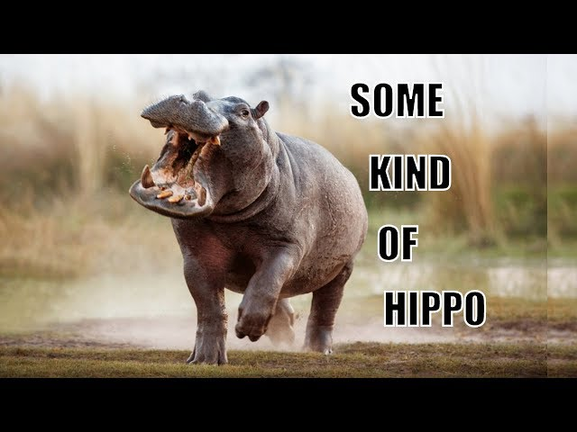 Song:   Some Kind of Hippo