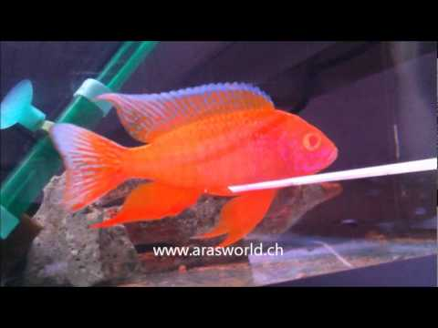 aulonocara eureka red albino - YouTube