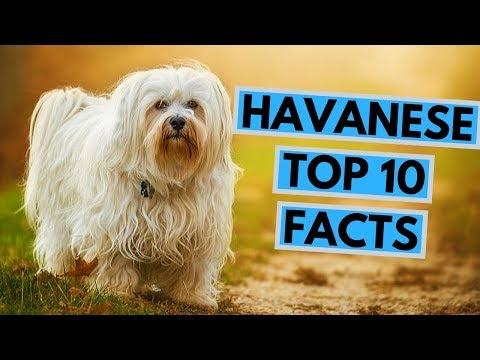 Havanese - TOP 10 Interesting Facts