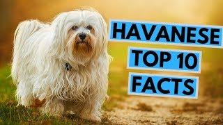 Havanese  TOP 10 Interesting Facts