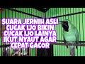 Suara Jernih Asli Cucak Ijo Bikin Cucak Ijo Lainya Ikut Nyaut Agar Cepat Gacor  Mp3 - Mp4 Download