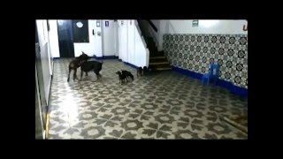 Cachorros Doberman-vendo