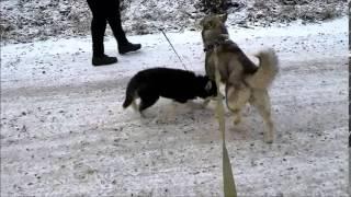 Неугомонные Сибирские Хаски