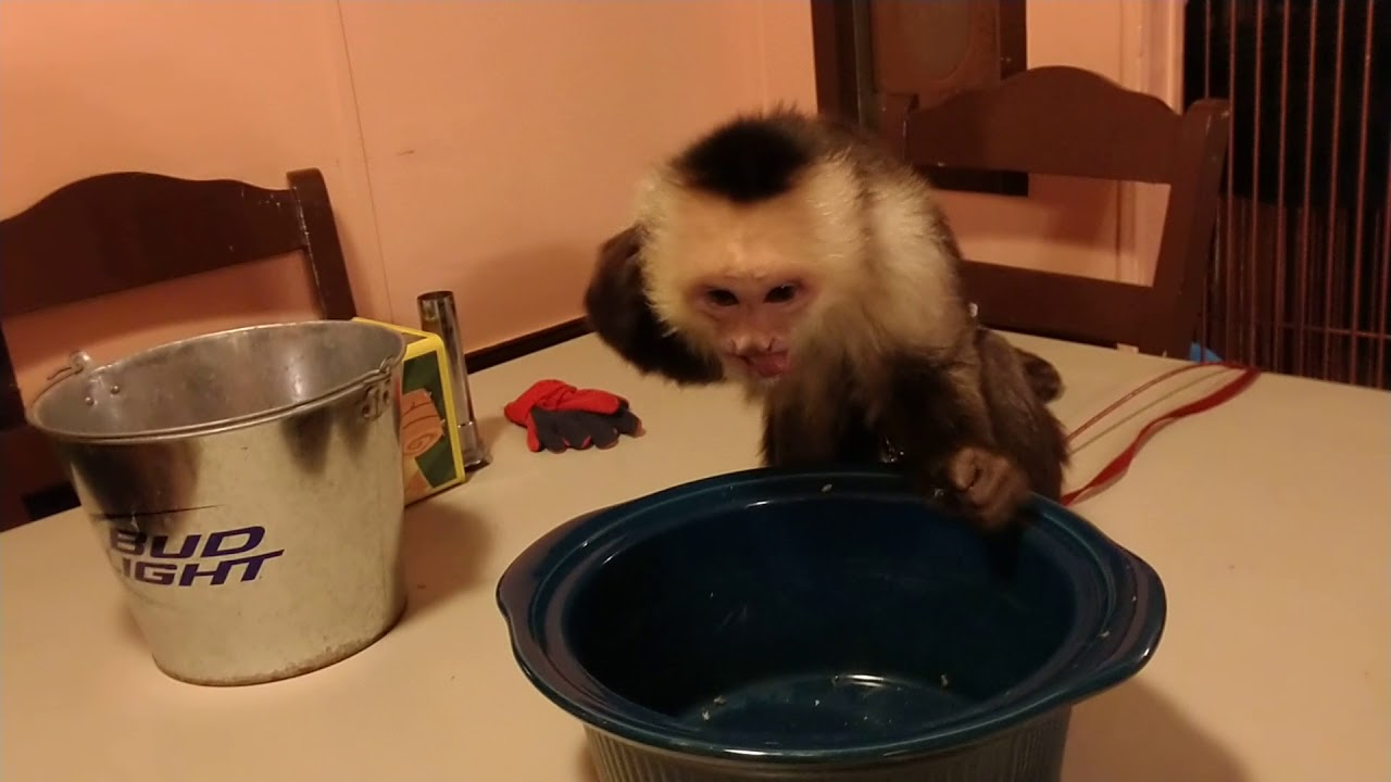 Monkey Attacks Crickets Then Crickets Attack Monkey