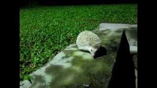 How To Train A Hedgehog