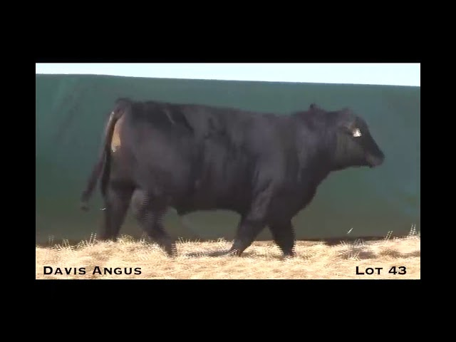 Davis Angus Lot 43