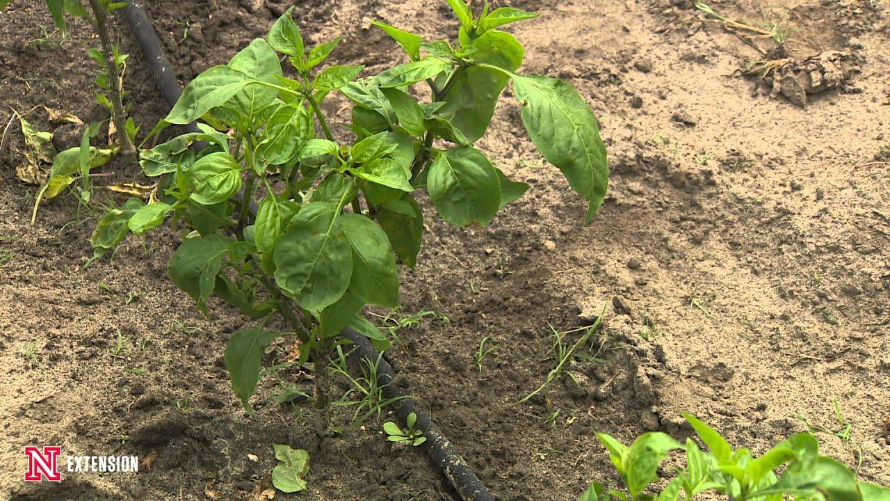 Bacterial Disease on Peppers