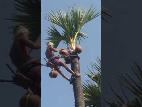 How to collect fresh palm wine liquor , neera, tathi  kallu from palm tree.