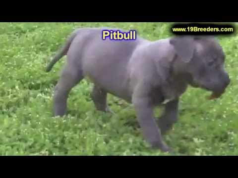 PitBull, Puppies, For, Sale, In, Des Moines, Iowa, IA, Bettendorf, Marion, Cedar Falls, Urbandale, A