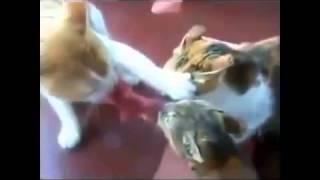 Приколы с кошками Бесплатные приколы видео про кошек Юмор! Прикол! Смех Смотри!