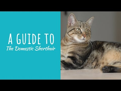 A Guide To The Domestic Shorthair