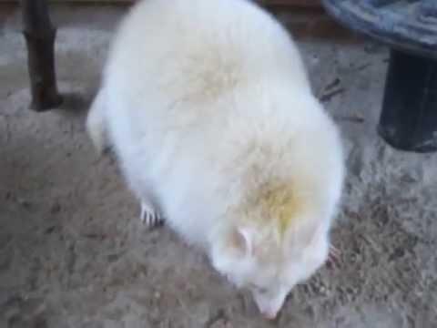 Our rare beauty (Matja our albino raccoon)