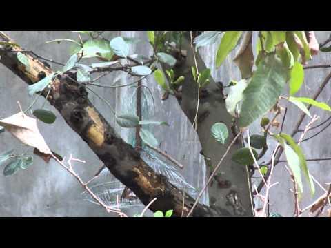 bẫy họa mi mơ  bị sổng 1 -Kênh về chim Chào mào của Triệu Triệu