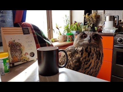 Чай с совой, травами и пчёлами. Котики за окном ищут весну, филин заваривает чай из сычей