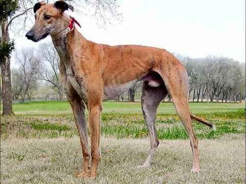 Greyhound Deutsch