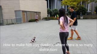 3 months Old Bosco Pug, dogs training singapore