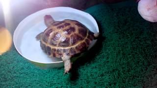 сухопутная черепаха всё о содержании в домашних условиях.(, 2014-08-29T01:22:35.000Z)