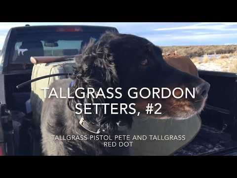 Tallgrass Gordon Setters, #2