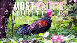 Top 10 Most EXOTIC Chicken Breeds | Top 10 Tuesdays